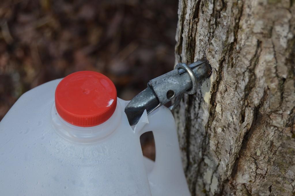 Maple tree tap