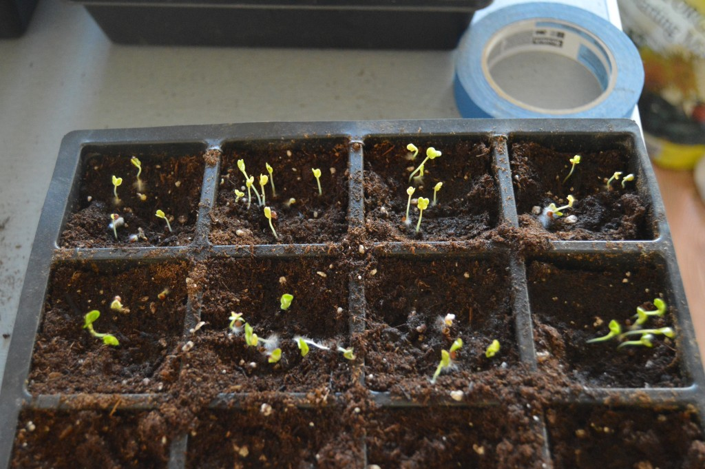 Broccoli and Cabbage seedling