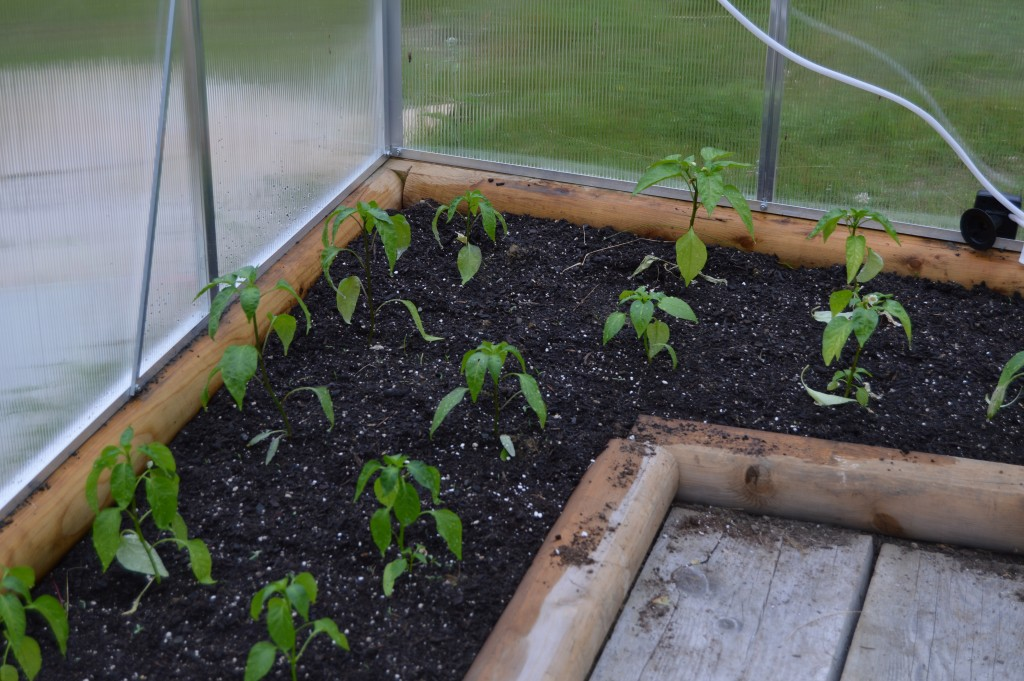 Peppers in the greenhouse