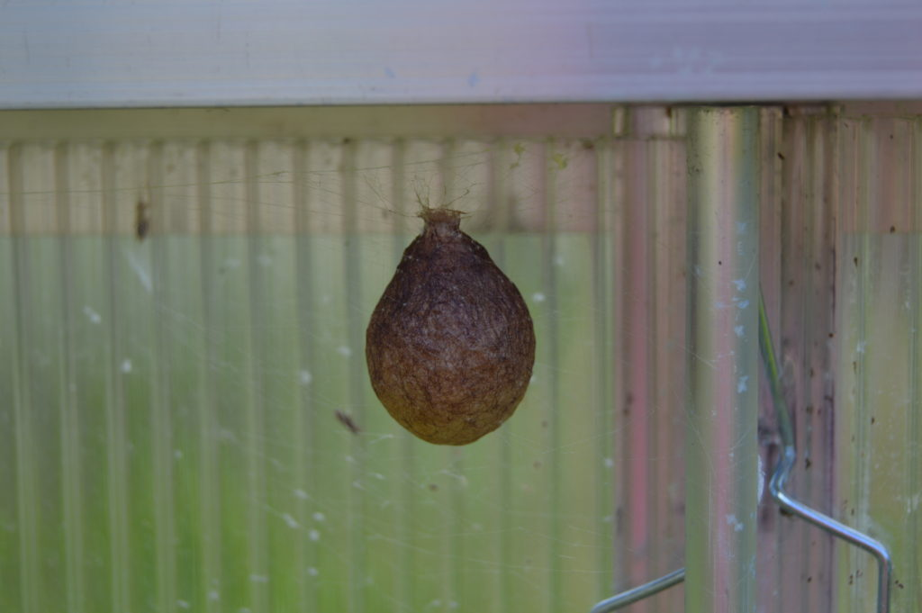 One of the two egg sacks